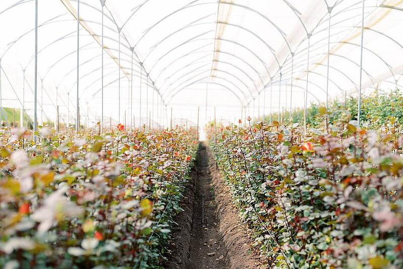 Greenhouse of roses at GreenRose in Ecuador.
