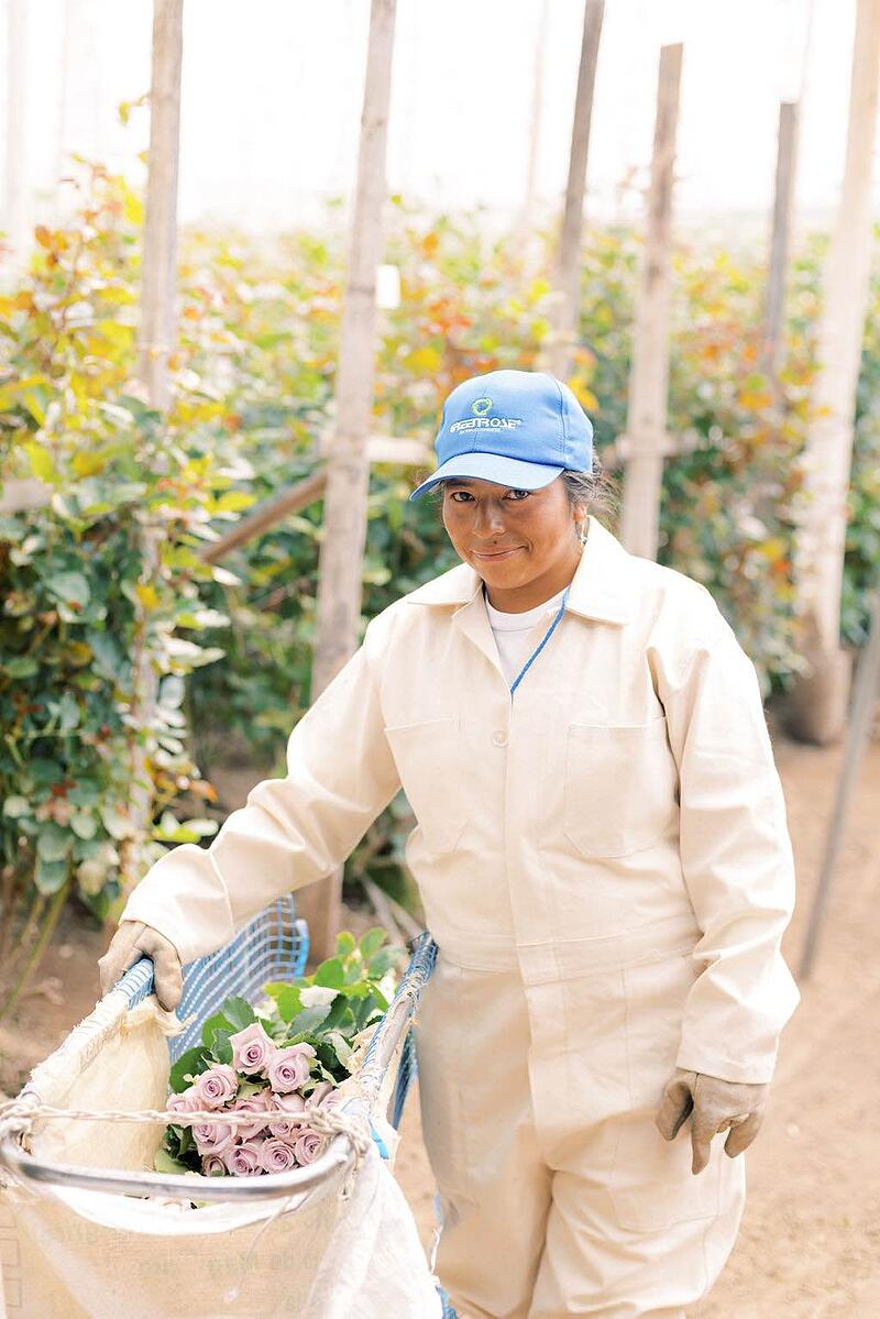 GreenRose employee harvesting roses.