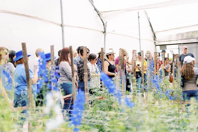 Tour of ValleFlor delphinium greenhouse.