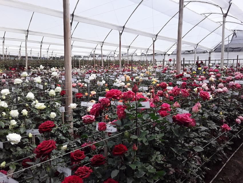 Valentine's Day Ecuador Roses