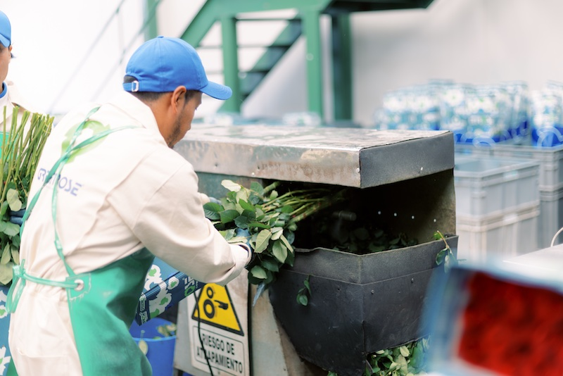 The Flower Growing Process Greenrose Quito Ecuador
